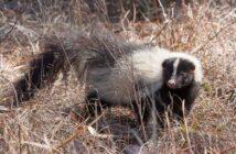 skunk florida