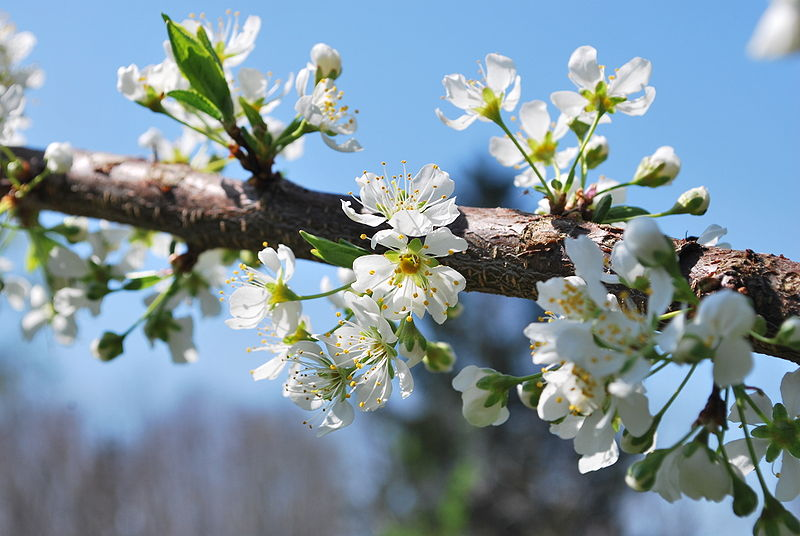 Springtime - blossoming tree in New York