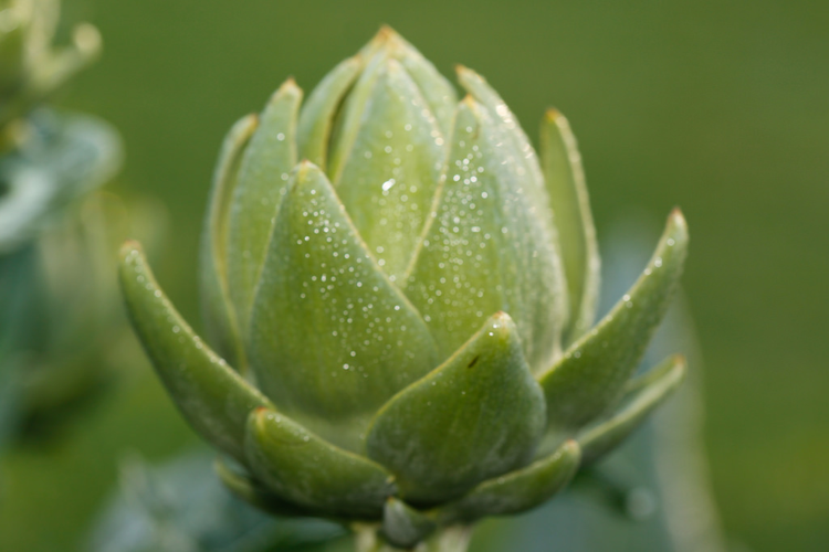 Peel off the layers of growing artichokes