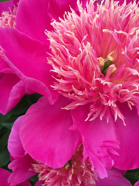 Peonies come in many colors and forms, including herbaceous, Itoh and tree. Photos by Ann Murphy.