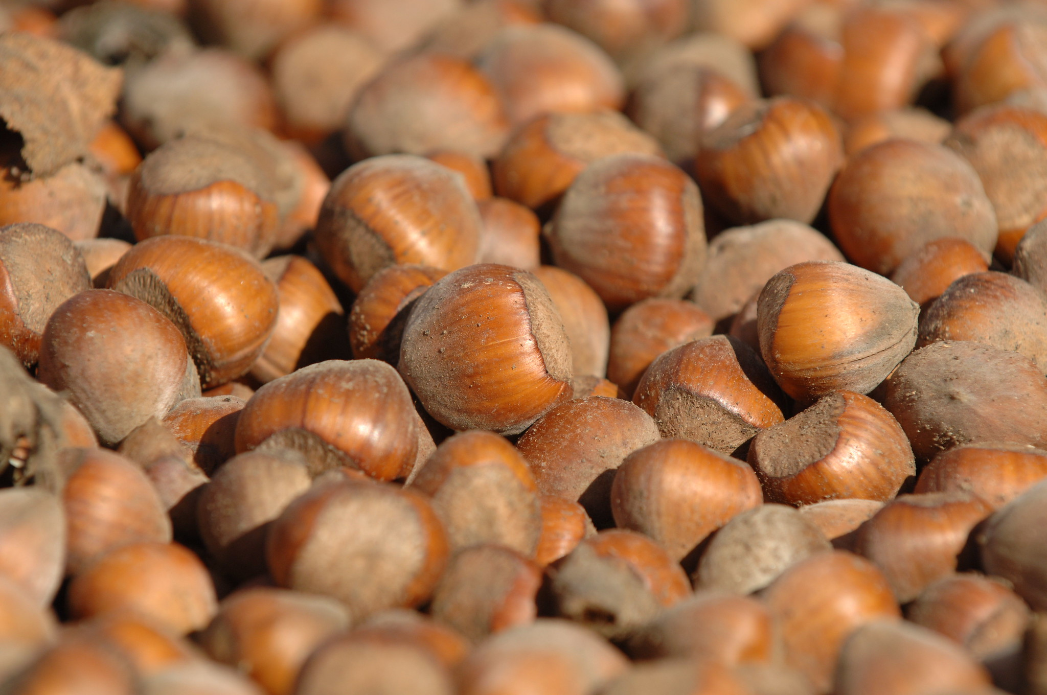 Gather nuts frequently as they fall from the tree
