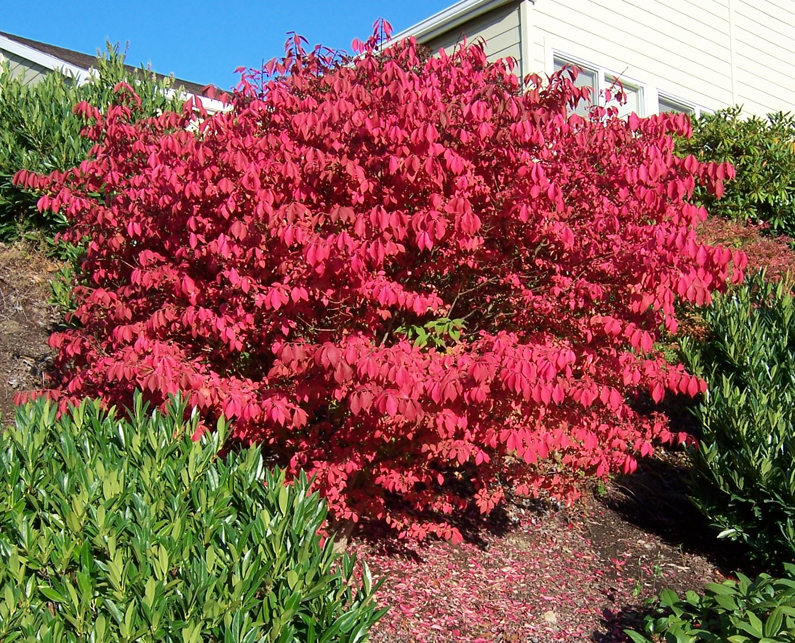 Saucy shrubs strut their stuff in fall