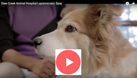 deer_creek_animal_hospital_laparoscopic_spay_video_link
