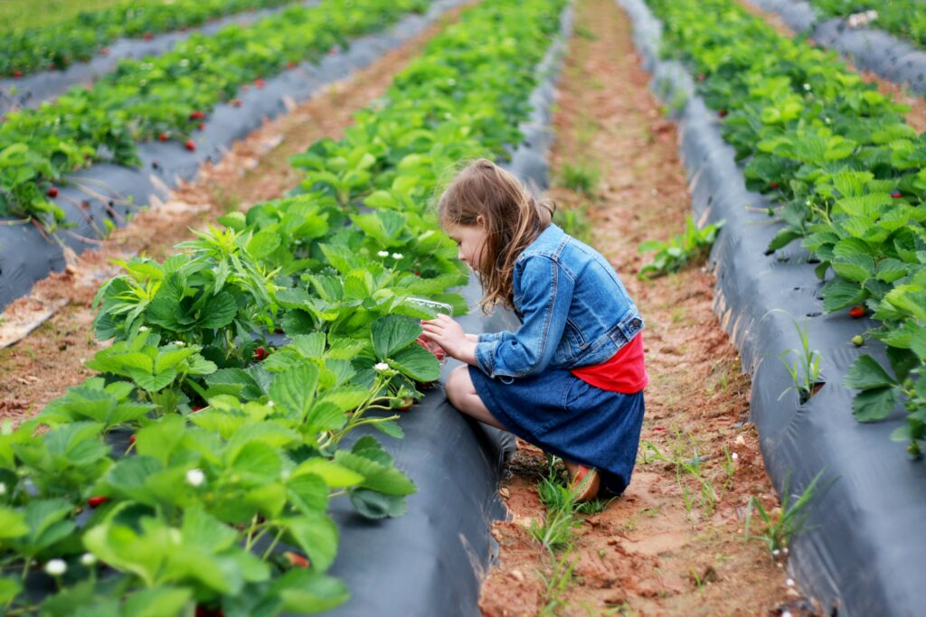 Young girls picks strawberries at a Pick Your Own produce farm. - Safe Summer Bucket List – 100 Ways to Have Fun This Summer While Social Distancing