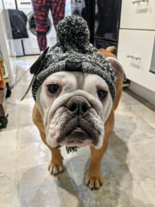 Cute English Bulldog in Hat