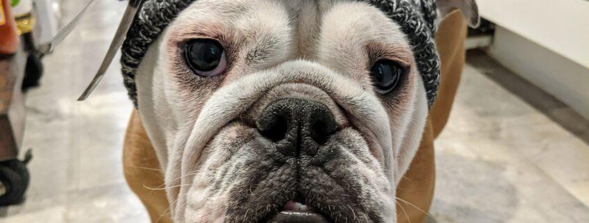 Cute English Bulldog in Hat