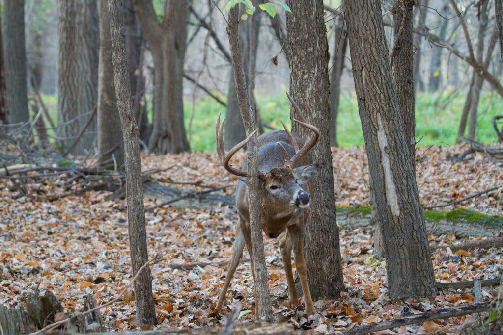 A whitetail deer making a rub