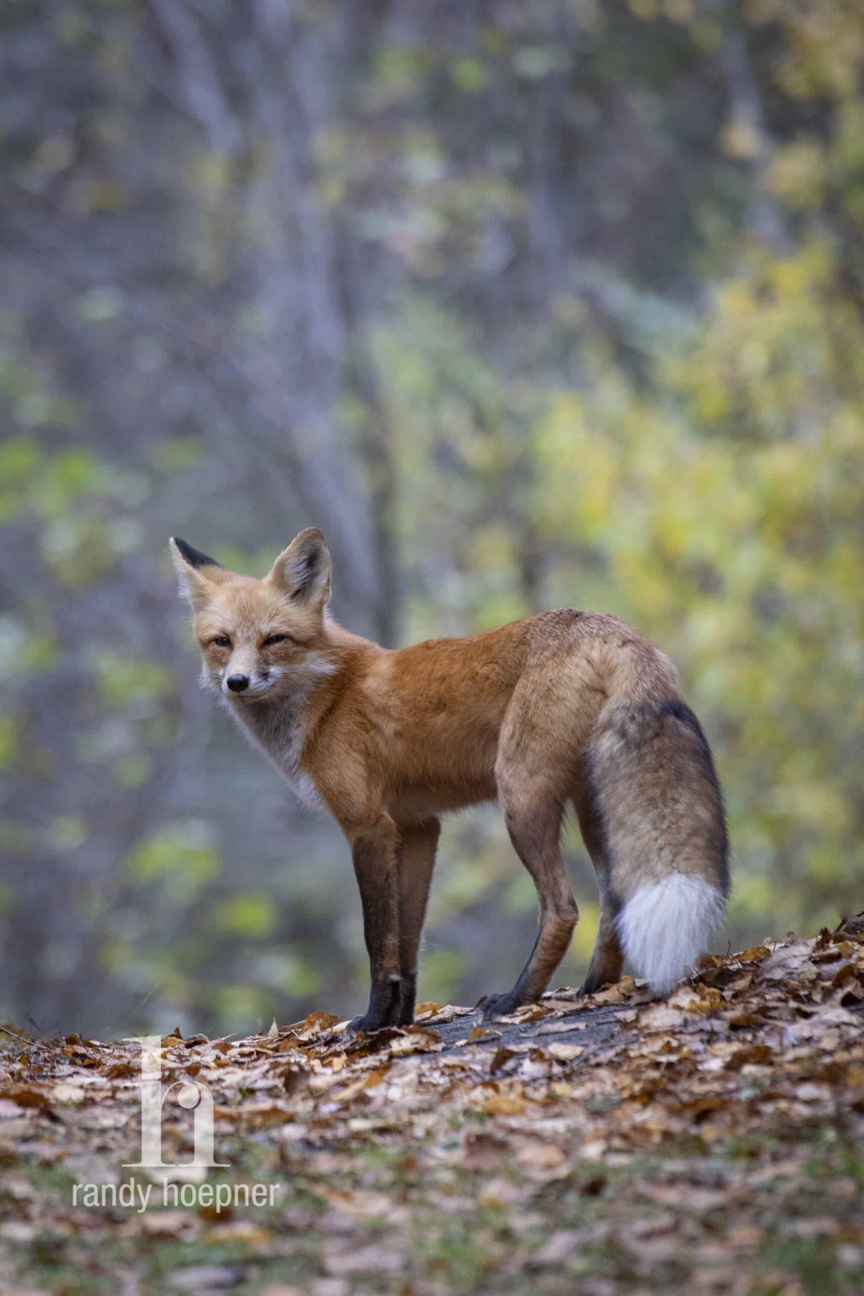 A red fox on Minnesota's Gunflint Trail