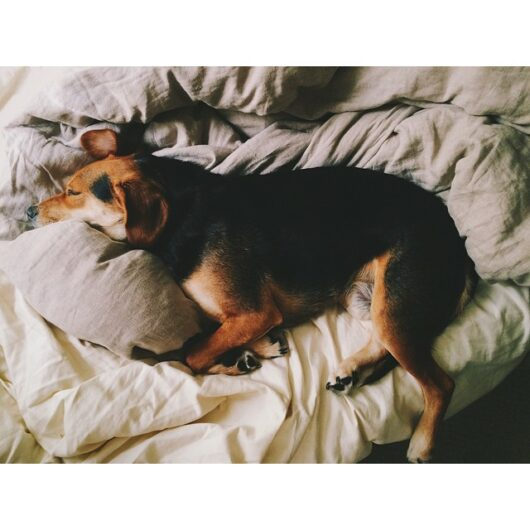 Beagle, Dog, Dan Brown, Kapitol Photography