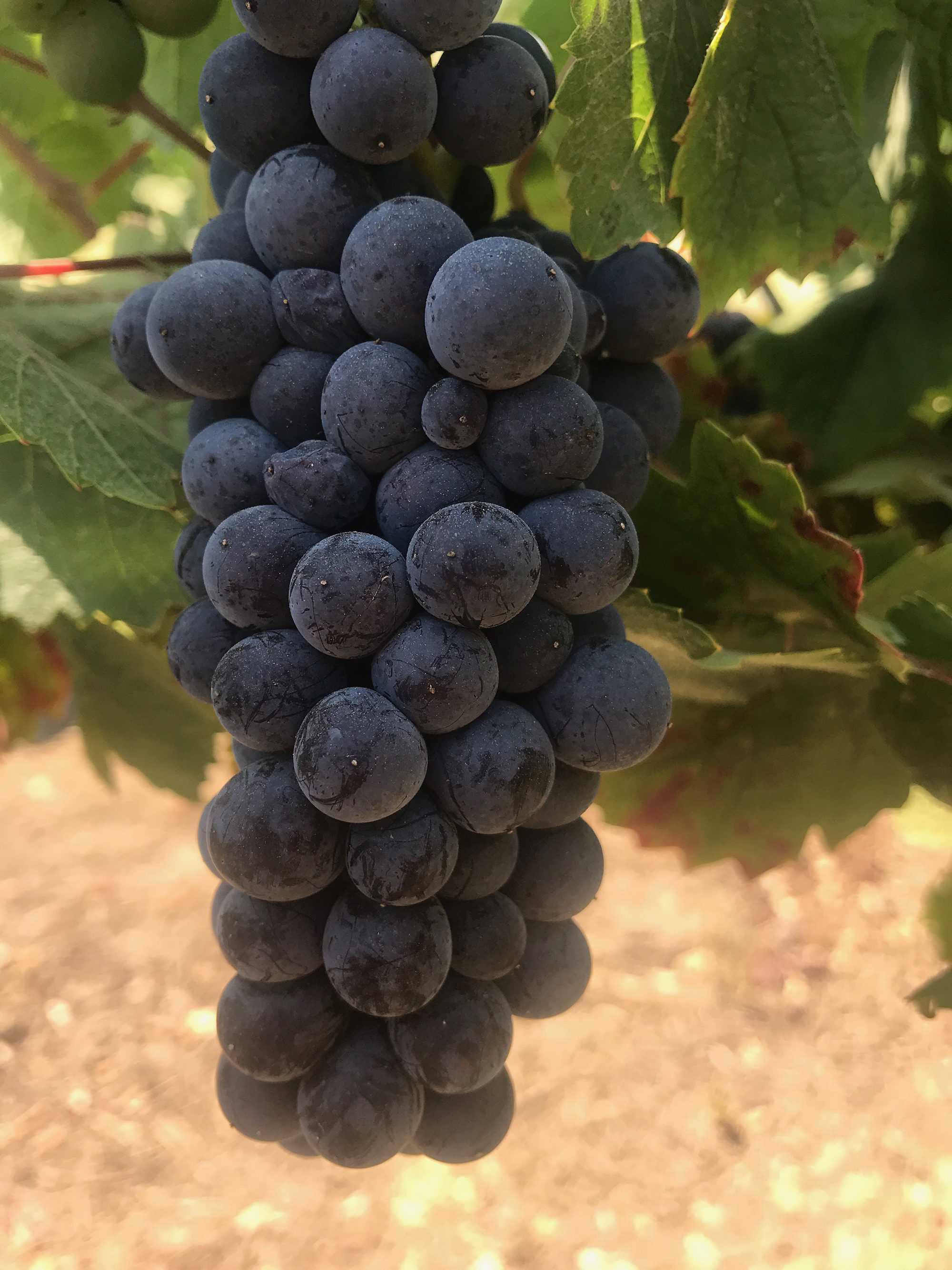 2015 Alberigi grape