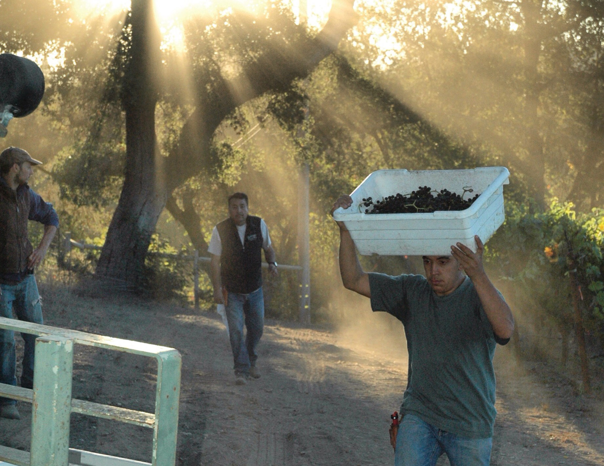 worker dumping grapes