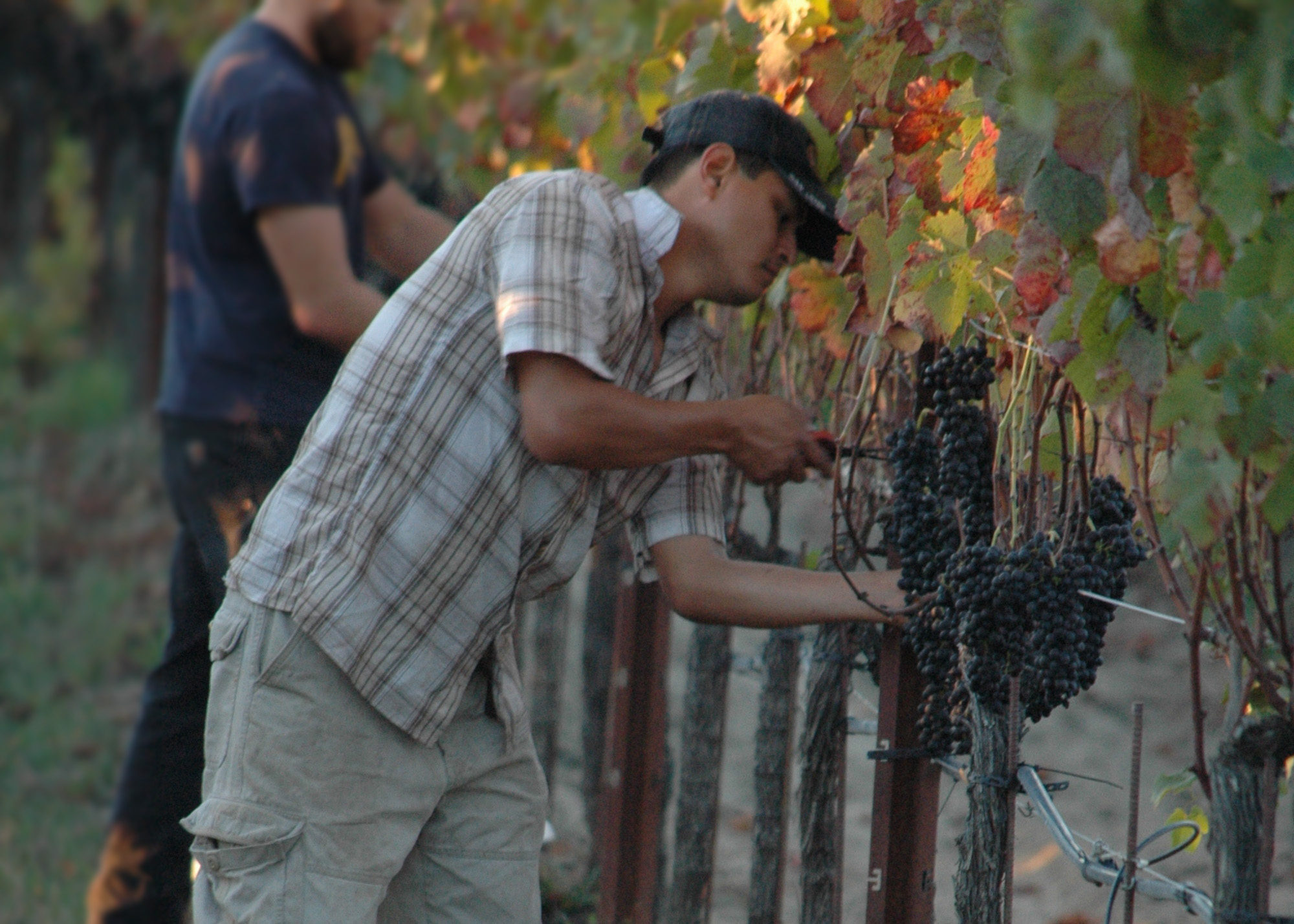 fernando harvesting grapes