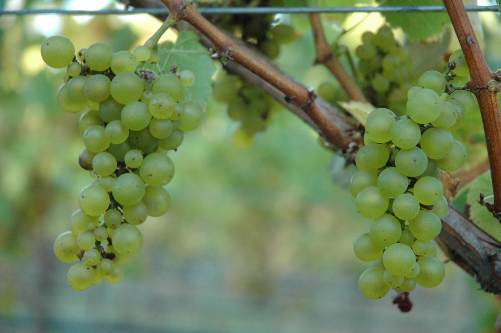 green grapes on vines