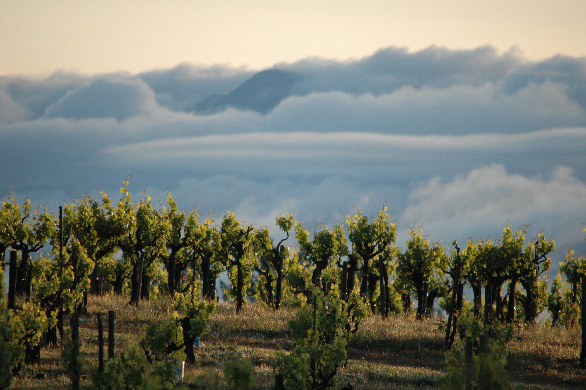 lemorel zinfandel vines in clouds