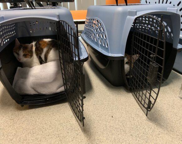 Foster cats in carriers waiting to come out on their first day home