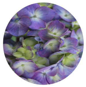 Pruning Your Panicle Hydrangeas