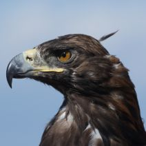 Police Recruit Eagles to Take Out Illegal Drones…Seriously