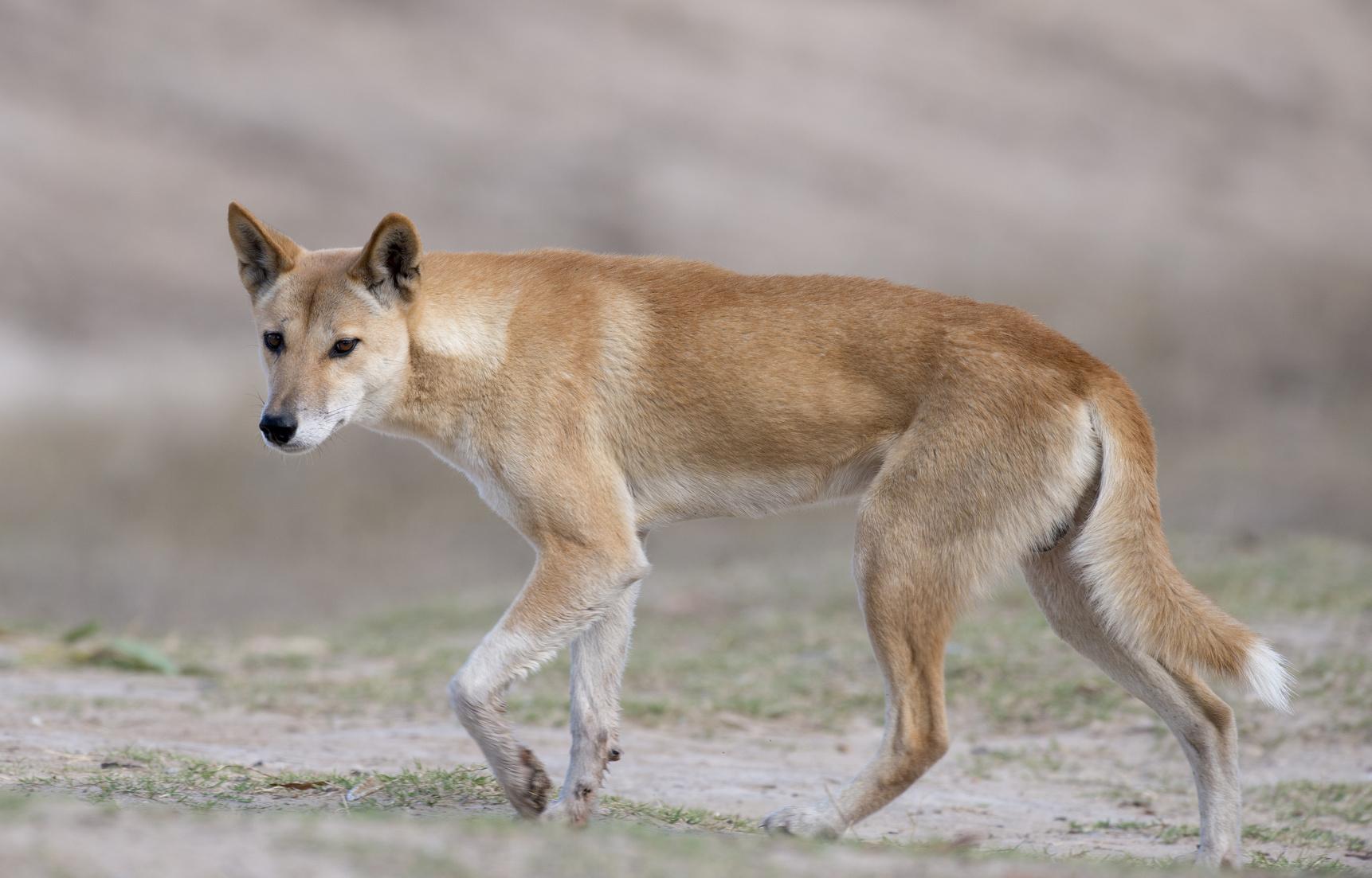 Australian dingo in desert country in outback Queensland, Australia.