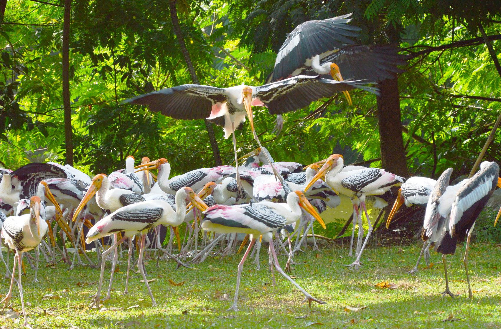 painted stork feeding fish