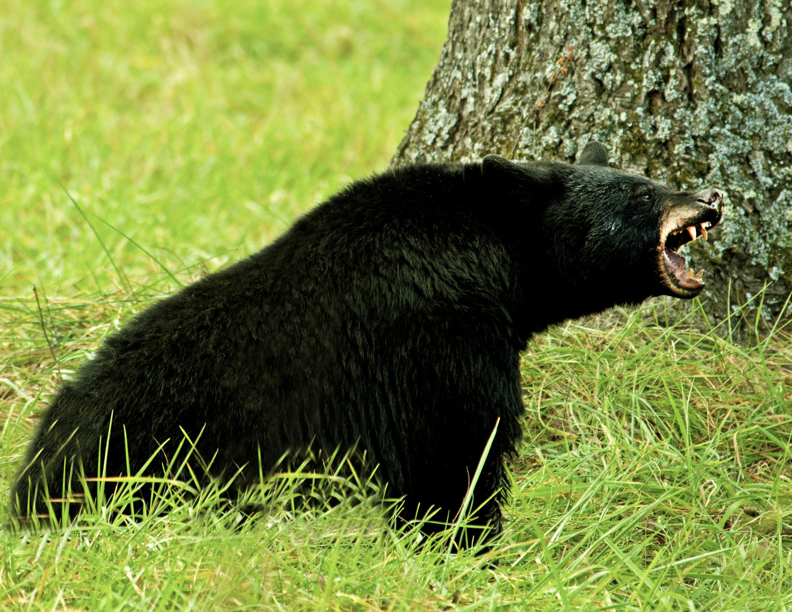 5 Reasons to Never Approach a Black Bear