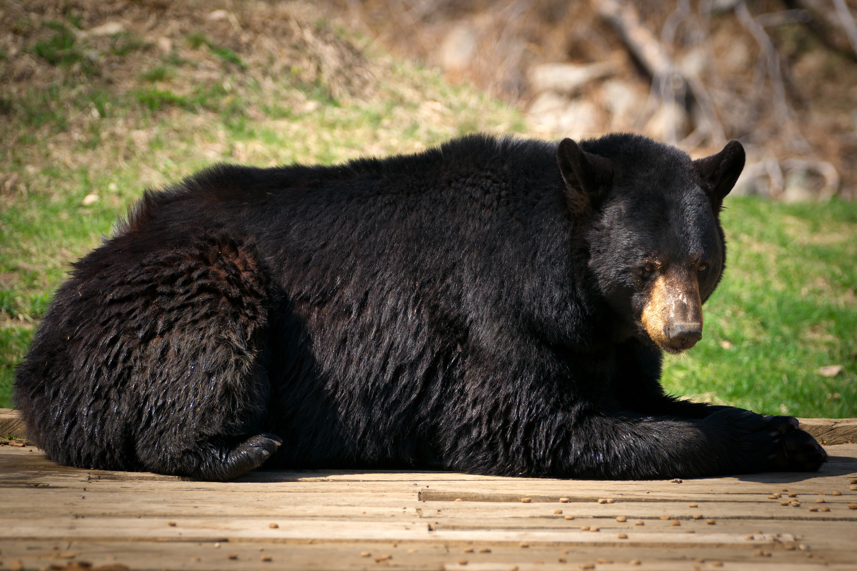 Large North American Black Bear Lying Down