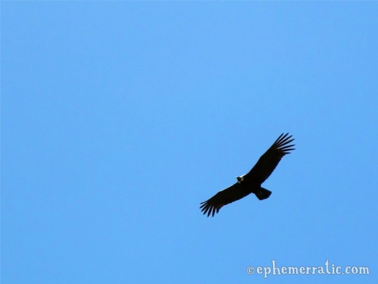Wingspan of the Andean Condor, Colca Canyon, Peru photo