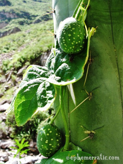 Fruiting green vine, Colca Canyon, Peru photo