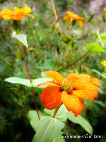 Orange bursting flowers, Colca Canyon, Peru photo