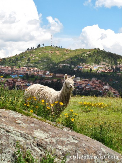 Picturesque alpaca and city view, Sacsayhuamán, Cusco, Peru photo