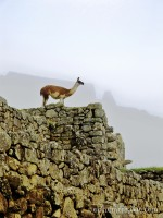 Llama at Machu Picchu, Peru photo