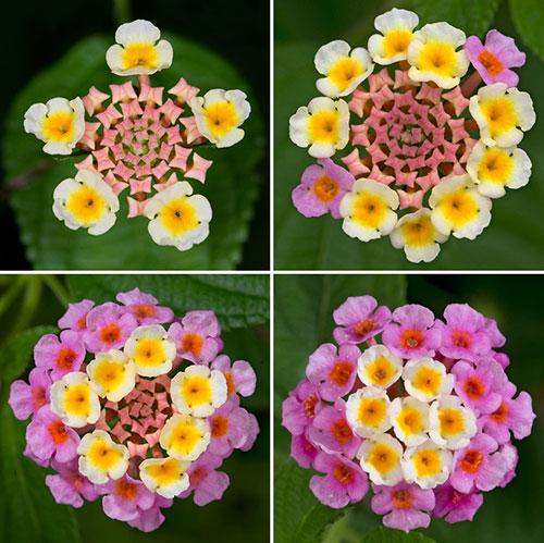 Kew_Colour-change-Lanata__500px