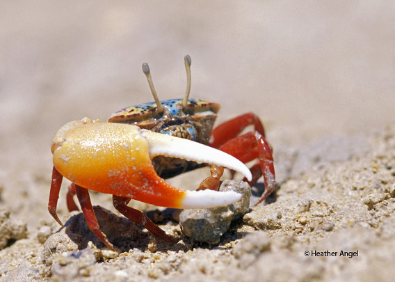 A male fiddler crab emerges from its burrow to feed at low tide on a Red Sea beach in Egypt. Captured with a 105mm maro lens, the crab