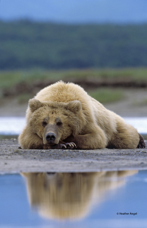 To gain a reflection of a relaxed brown bear in a pool at Hallo Bay in Alaska, a 500mm lens allowed for a speedy low-angle shot.
