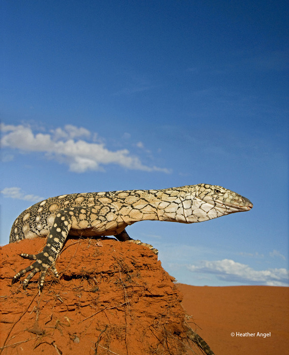 A low camera angle and a 24-85mm wide-angle lens set at 38mm, gives added impact to Australia's largest lizard – the perentie goanna.