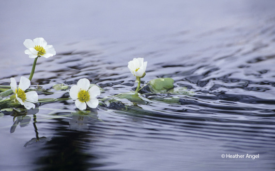 A low angle reveals the ripples created by the current streaming past emergent water crowfoot, Ranunculus aquatilis, flowers.