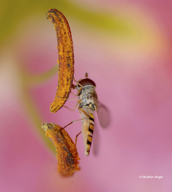 A macro lens captures a marmalade hoverfly as it laps up lily pollen using a broad proboscis. In the process all the legs pick up sticky pollen which gets transferred to the next flower it visits.