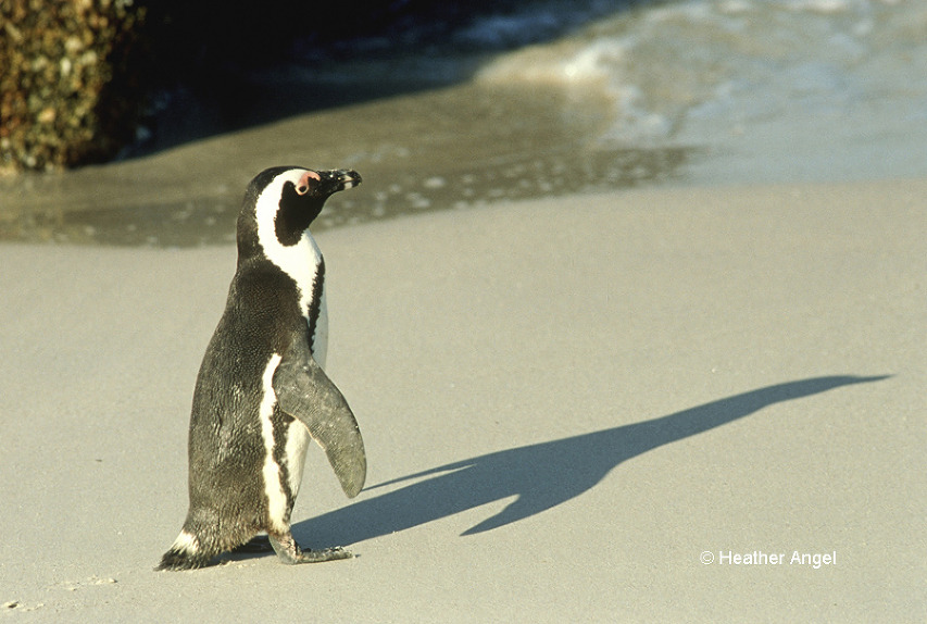 African penguin (Spheniscus demersus) casts a Concorde like shadow late in day on Boulders Beach, the Cape, South Africa