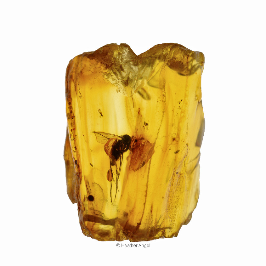 An insect trapped in Baltic amber - fossilized tree resin from ancient forests