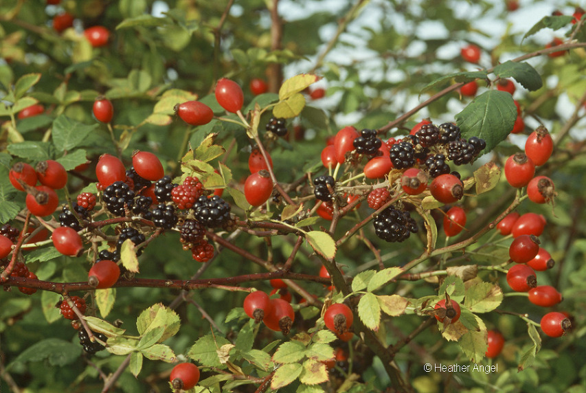 Blackberries and rosehips intermingle within a Hampshire hedgerow