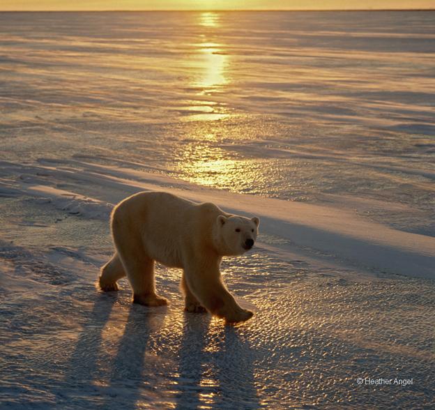 A rimlit polar bear (Ursus maritimus) walks on ice at sunset, Cape Churchill, Canada