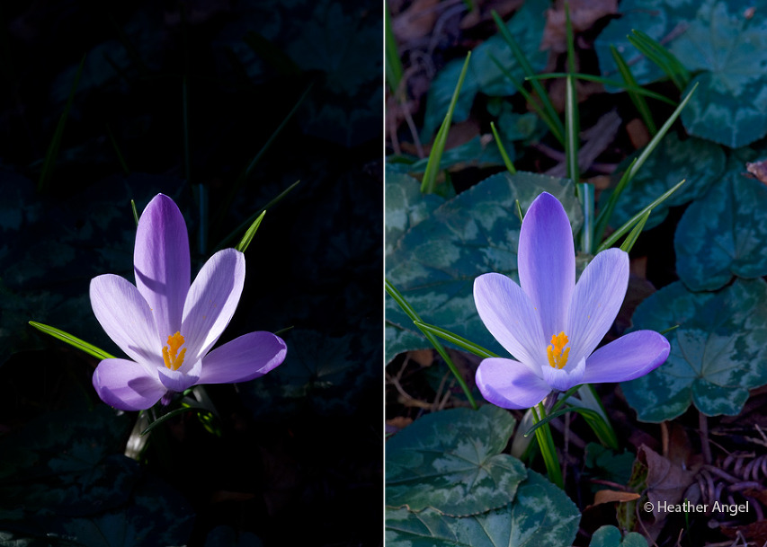 Left: Crocus spot lit by winter sun Right: Crocus in soft light created by using a diffuser.