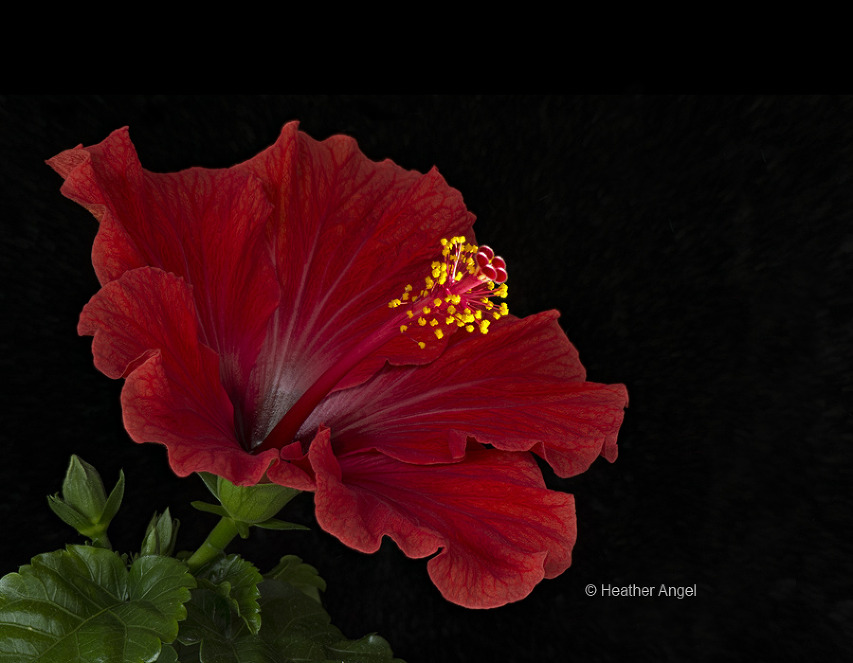 A hibiscus staminal column spotlit with an LED light