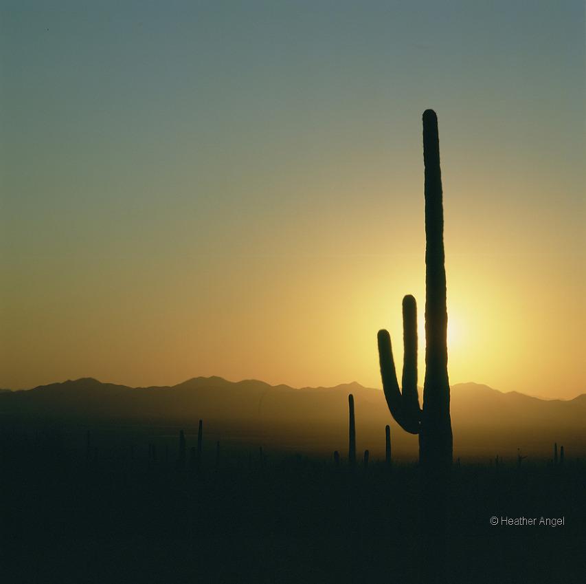 A saguaro cactus (Cereus giganteus) blocks out the bright sun in Arizona