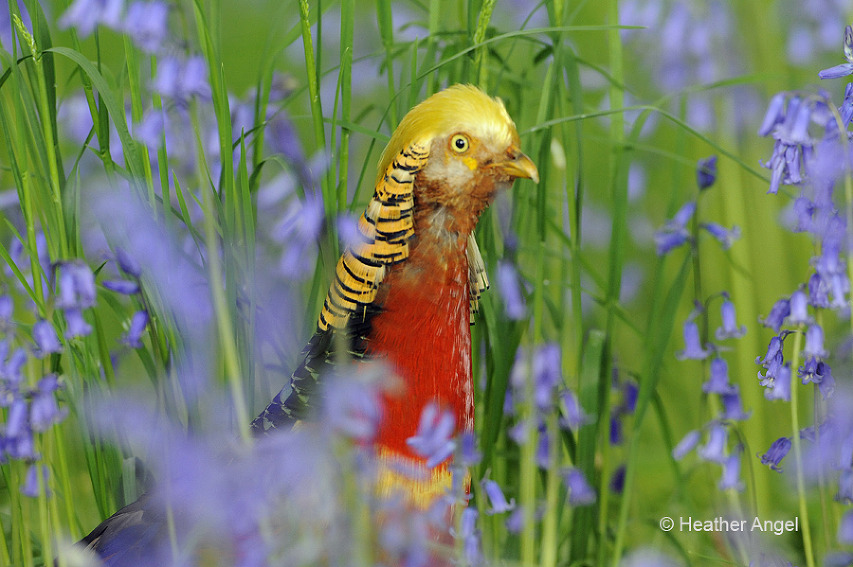 Male golden pheasant with bluebells