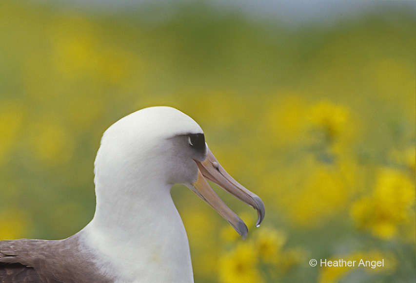 Laysan albatross Midway Atoll with flowers