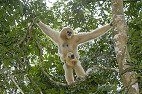 Mother white cheeked gibbon with newborn