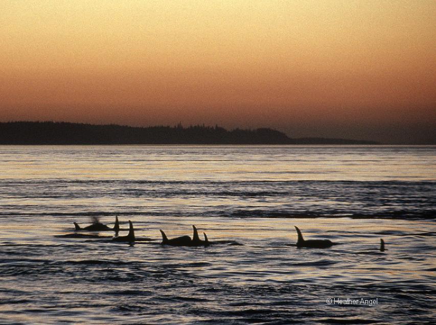 Killer whales at dusk