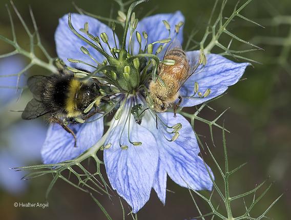 Anther deposits Nigella pollen on the topside of honeybee