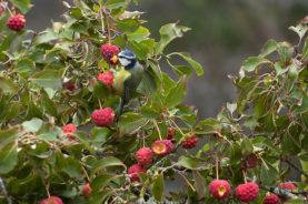 Blue tit feeding Cornus fruit