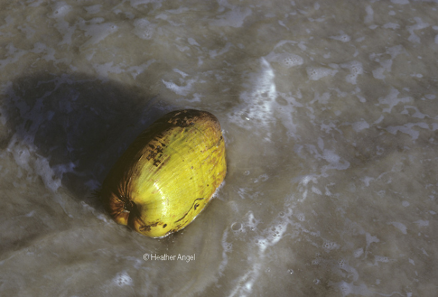 Coconut washed ashore in sea